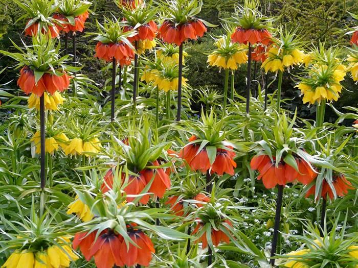 Рябчик императорский в саду