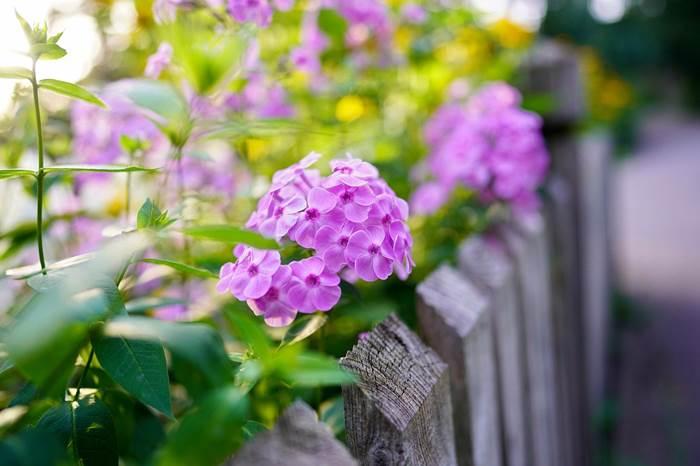 Цветущие флоксы в саду