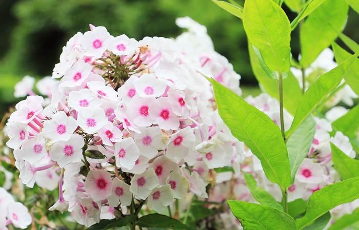 Белые флоксы в саду