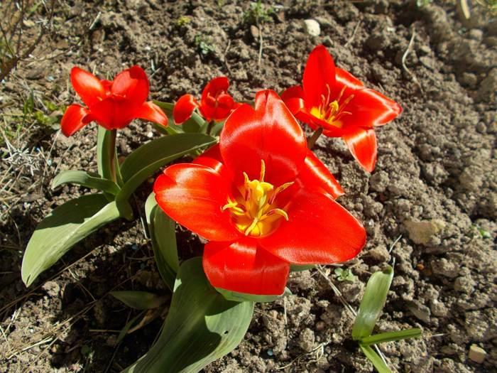 Тюльпаны в открытом грунте