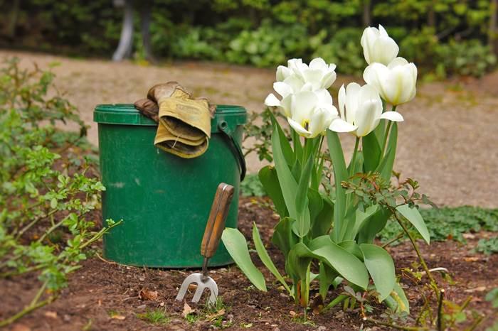 Посадка тюльпанов