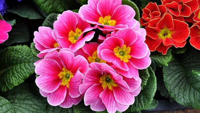 Примула розовые цветы