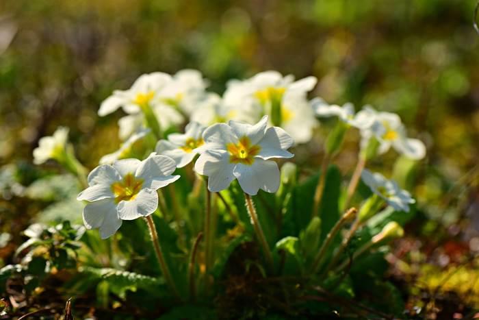 Первоцвет Примула весна