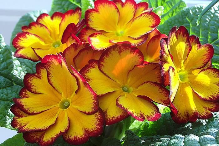 Примула красивое фото цветов