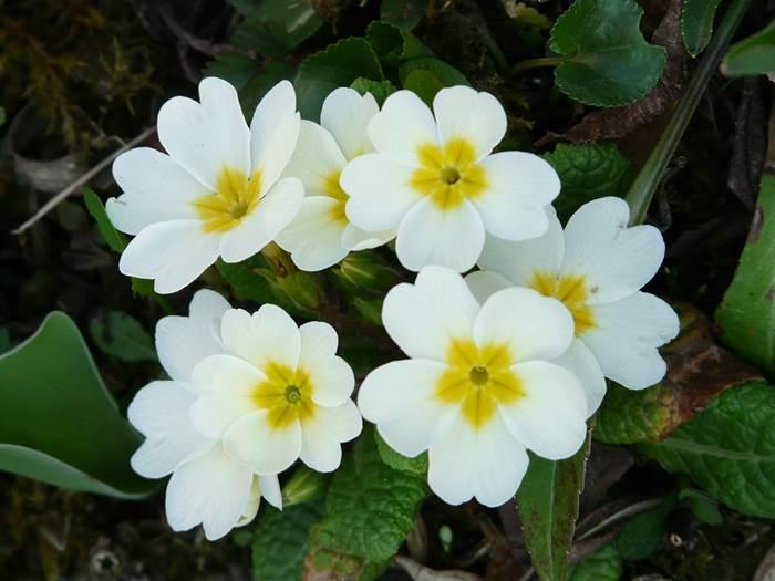 Примула белые цветы