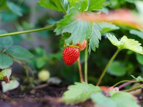 Куст клубники спелые ягоды