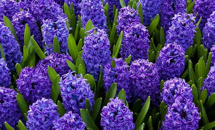 Гиацинт синие цветы