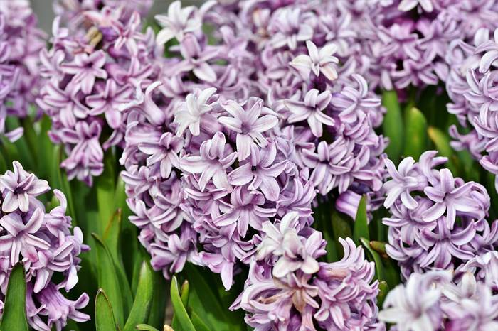 Гиацинт красивые цветы
