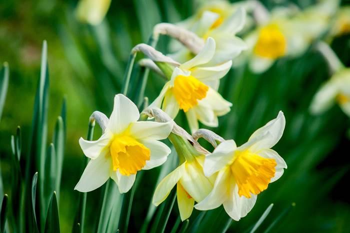 Красивые нарциссы цветы