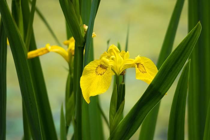 Жёлтые ирисы