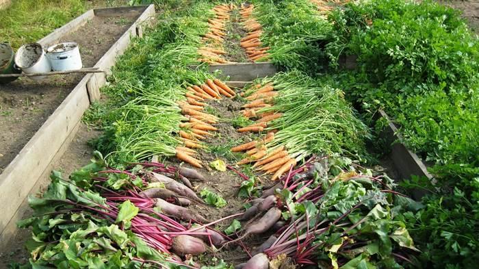 Урожай свеклы и моркови