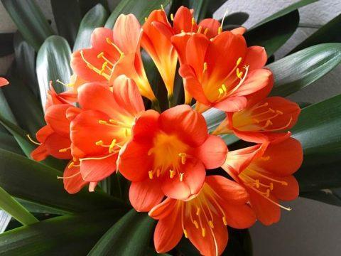 Кливия цветущая фото
