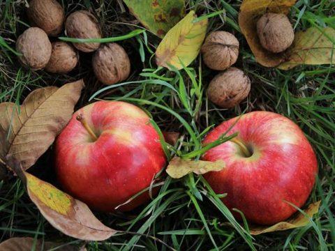 Спелые яблоки и орехи в ноябре