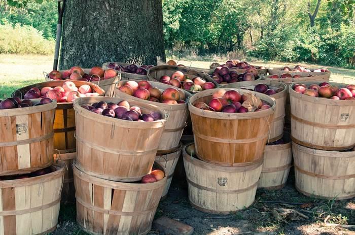 Осенний урожай яблок