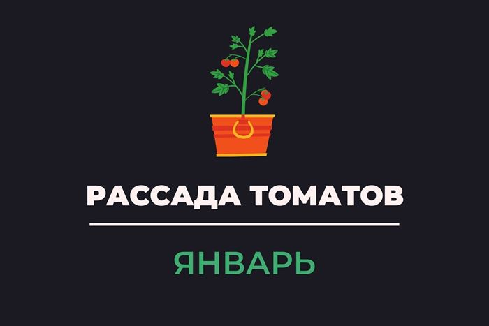 Рассада томатов январь