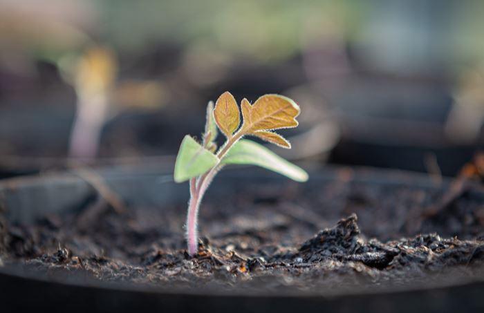 Помидоры росток на рассаду