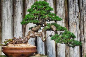 Бонсай хвойное дерево