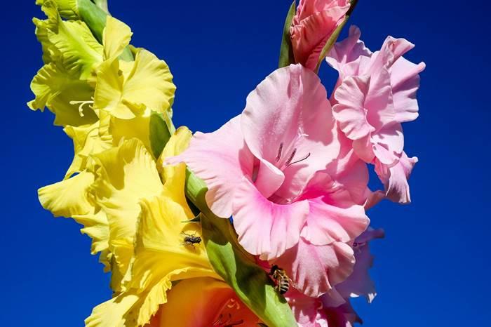 Гладиолусы цветы