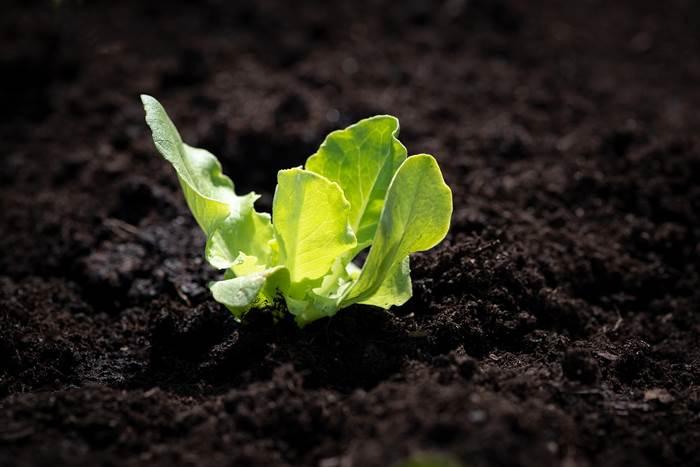 Салат на огороде фото