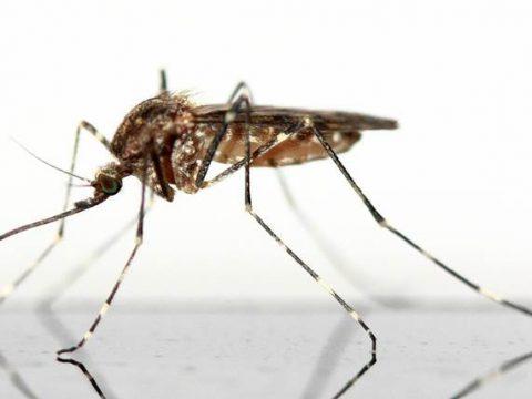 Комар фото крупным планом