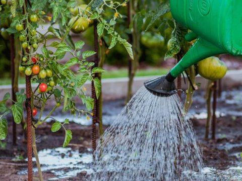 Полив помидор на огороде